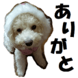 Toy poodle photo sticker