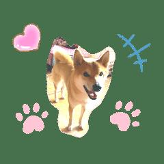 柴犬かんちゃん@