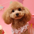 Day-to-day toy poodle