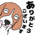 Super energetic beagle dog