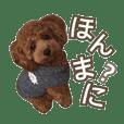 ちょい関西弁のトイプードル~coto~