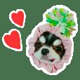 Chihuahua KURURU