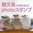 Baby Java sparrow photo stickers