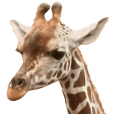 There are a lot of cute giraffes