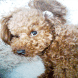 Cute toy poodle pooh`s photos