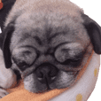 Pug dog photo sticker vol.1