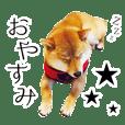 Mame of a Shiba dog.