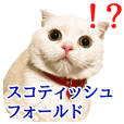 Sticker of Pathetic face Scottish Fold