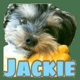 Yorkshireterrier Jackie 2