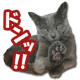 Cat Sticker Russian Blue