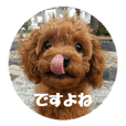 Toy Poodle Lion 2