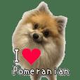 love Pomeranian
