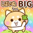Shiba Inu's daily life Big atamp