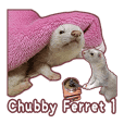 Chubby ferret 1