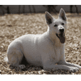 THE White Shepherd Dog! No,1 (P)