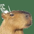 Capybara of Kapi-chan 3