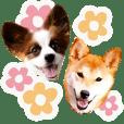 パピヨンと柴犬とお友達