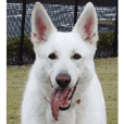 THE White Shepherd Dog! No,3 (P)