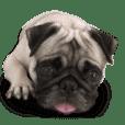 Dog Pug Sakura