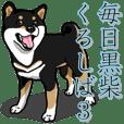 Daily Black Shiba Inu 3