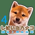 Japanese Shiba Inu hanako4 PhotoSticker