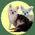 SIZUKU's Chihuahuas