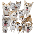 Shibainu-collection #1
