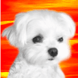 Maltese dog in a dawn.-part2-