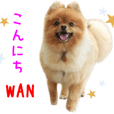 Real DOG Brown Pomeranian