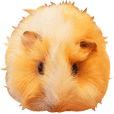 mop of guinea pig