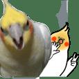 Creatures such as the cockatiel 7