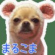 MARUCOMA Chihuahuas