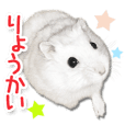 Djungarian hamster -Daifuku- Photo ver.1