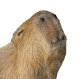 Capybara of Kapi-chan 2(English edition)