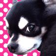 """Chihuahua """"SETSU"""" Sticker"""