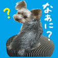 Sticker of a Yorkshire terrier2
