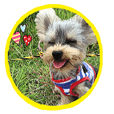 SticKer of a Yorkshire terrier