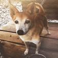 Cute Shiba Inu DOG.