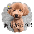Standard of toy poodle