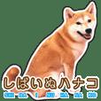 しばいぬハナコ6【柴犬写真】