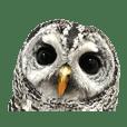 Rufous Legged Owl - Meme