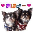 Real DOG Chihuahua Black & Tan2