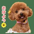 """toy poodle """"HANA"""""""