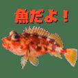 魚でご挨拶