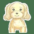 A little fat Toy poodle