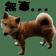 Little Shiba Inu