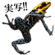 Poison dart frog of photo