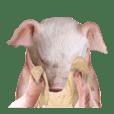Moody pig