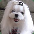 マルチーズ犬『COCO』の使えるスタンプ