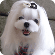 Maltese_dog